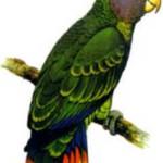 Papaga1