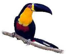 Tucano de Bico Preto