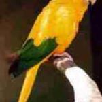 Ararajuba