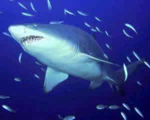 Tubarão de Areia