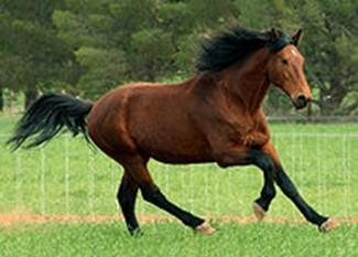 Cavalo Baio de Cleveland