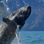 Baleia Boreal