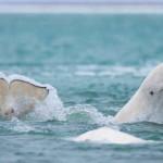 Baleia Branca