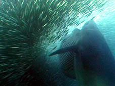 Baleia de Bryde