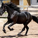 Cavalo Arabo Friesian