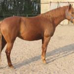 Cavalo Berbere