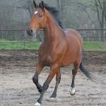 Cavalo de Sela Francesa