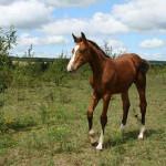 Cavalo Einsieder