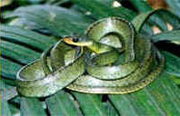 Cobra-Cipó