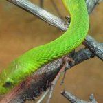Cobra-mamba-verde