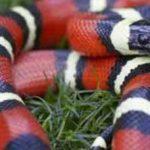 Cobra Rei