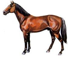 Cavalo Darashouri