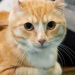 Gato American Curl