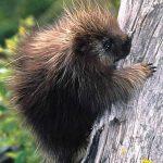 Ouriço-Preto