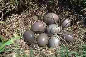 Ovos de Perdigão