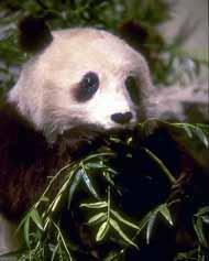 Urso Panda