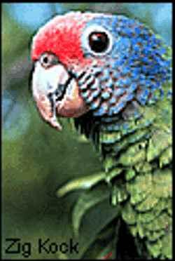 Papagaio de Cara Roxa