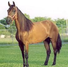 Cavalo Passo Fino