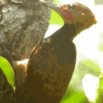Pica-pau-de-coleira