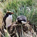 Pinguim de Macaroni