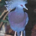 Pomba Goura