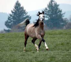 Cavalo Shaya Árabe