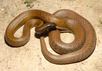 Tipos de Serpentes