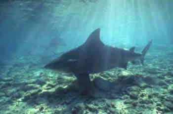 Tubarão Touro