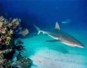 Tubarão Cinzento Dos Recifes