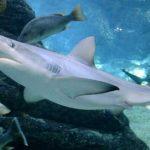 Tubarão Galha Preta