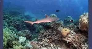 Tubarão Galha Branca Oceânico