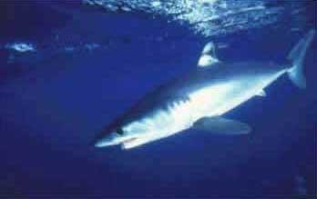 Tubarão Mako Cavala