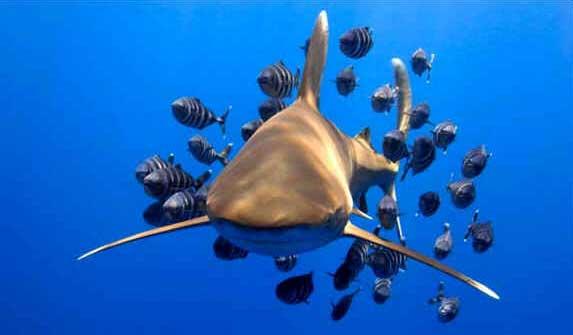 Tubarão de Pontas Brancas