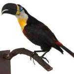 Tucano-de-bico-preto
