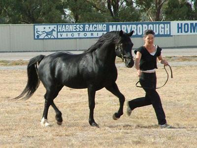 Cavalo Welsh Cob