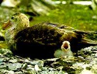 Petrel-gigante em seu ninho