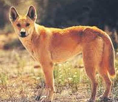 Fauna da Austrália