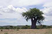 Um embondeiro na berma da estrada, região de Tete, Moçambique