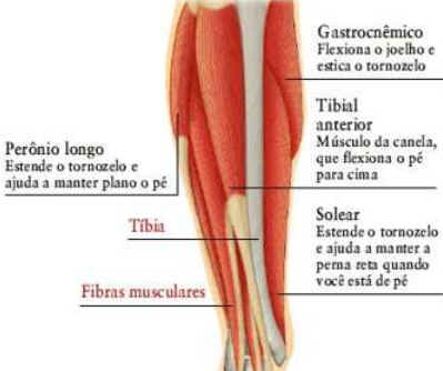 Como Funcionam os Músculos
