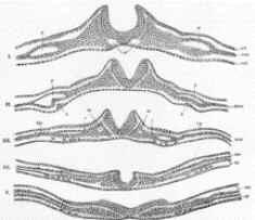 Neurulação