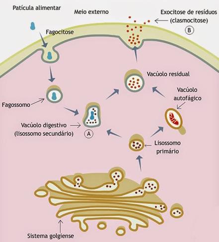 Ação dos Lisossomos