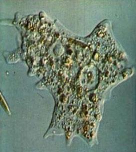 Visão microscópica de uma Ameba