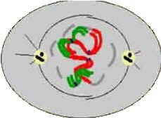 Prófase - Divisão Celular