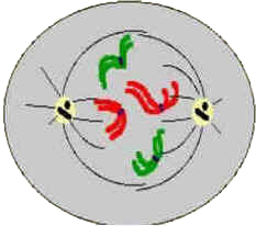 Prometáfase - Divisão Celular