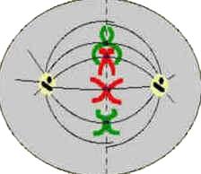 Metáfase - Divisão Celular