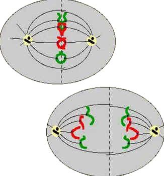 Anáfase - Divisão Celular