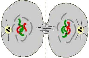 Telófase - Divisão Celular