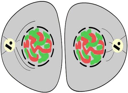 Citocinese - Divisão Celular