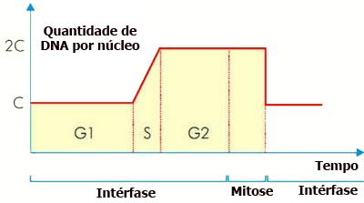 Variação da quantidade DNA ao longo do ciclo celular