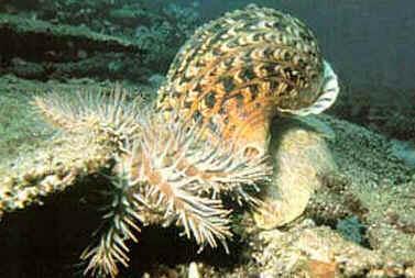 O tritão-do-Pacífico (Charonia tritonis) é um dos maiores gastrópodes dos recifes.